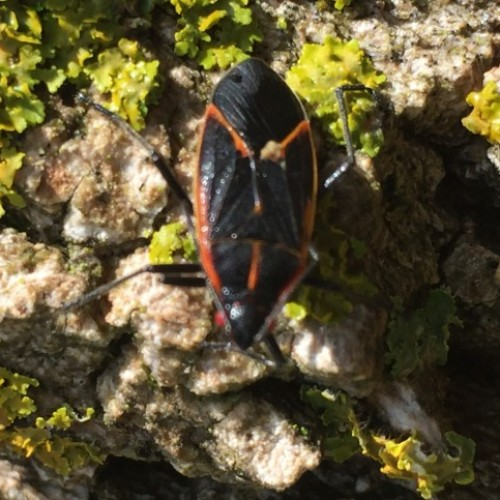 Male box elder bug