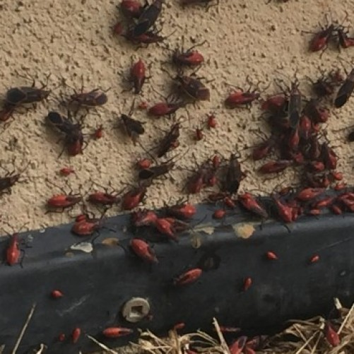 box elder bugs on foundation